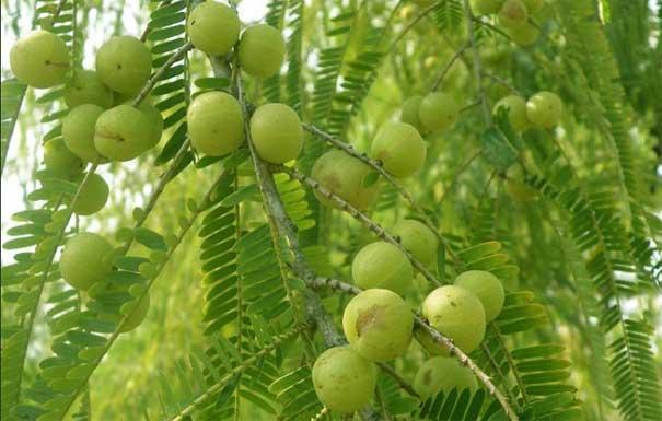 Amalaki-fruit